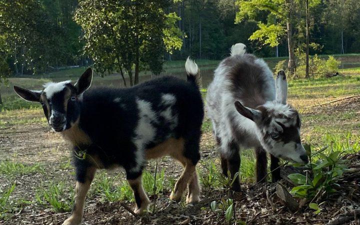 Nigerian Dwarf Goats, dairy goats, farm