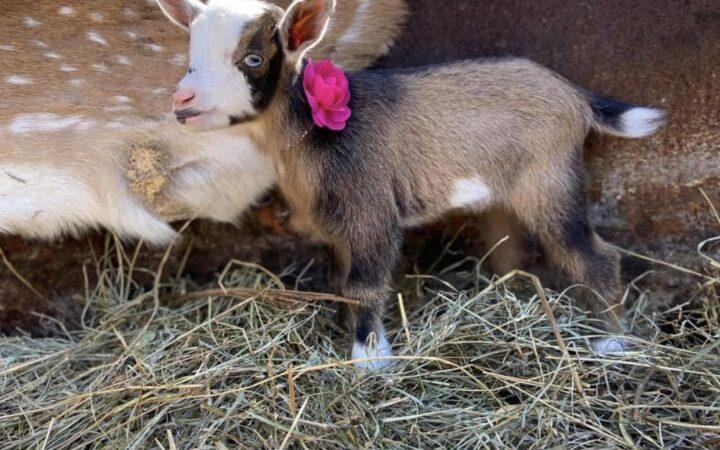 nigerian dwarf goat, dairy goat, homestead, farmstead, baby goat, doeling