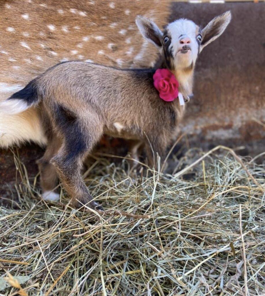 nigerian dwarf goat, dairy goats, baby goats, goat milk