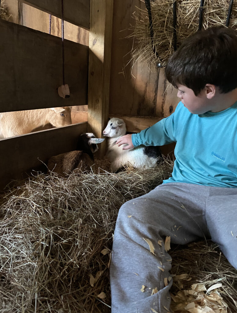 nigerian dwarf goats, baby goats, nigerian dwarf dairy goats, dairy goats, farmstead, homestead