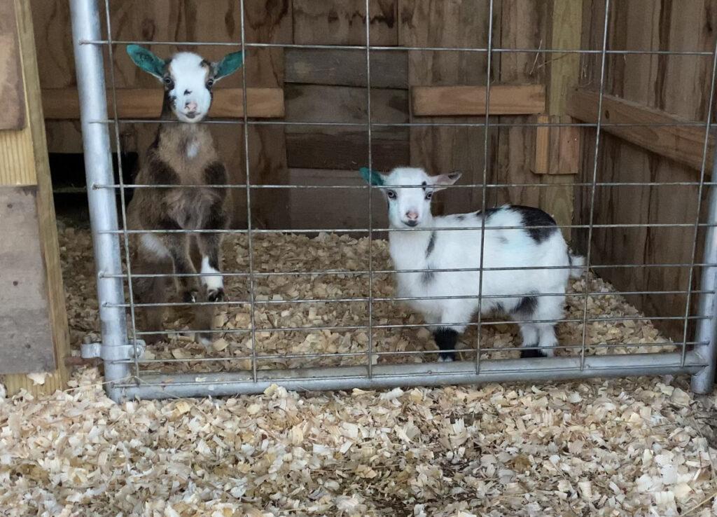 nigerian dwarf kids, baby goats, nigerian dwarf dairy goats, farmstead, homestead