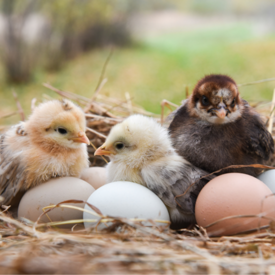 chicks, baby chickens, laying hens